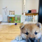 本庄市にある「KENNEL夢楽(けんねる むらく)」でかわいいパピィ(仔犬)達がたくさん生まれたよ〜!「柴犬(豆柴サイズ)」好きの方は特に必見♪【さいつう広告】